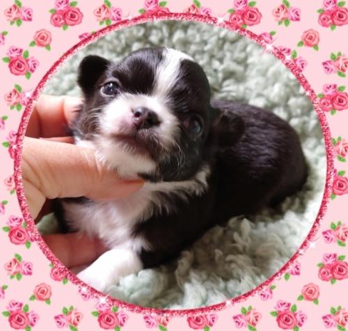 チワワ(ロング)の子犬(ID:1238011036)の2枚目の写真/更新日:2019-07-17