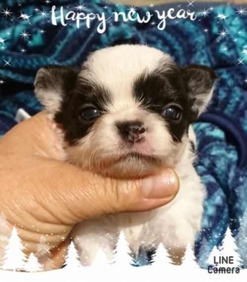チワワ(ロング)の子犬(ID:1238011043)の1枚目の写真/更新日:2019-06-25