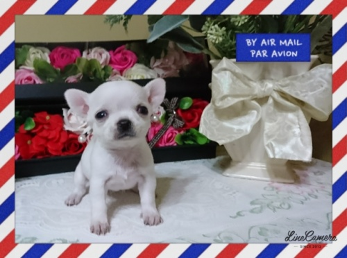 チワワ(スムース)の子犬(ID:1238011064)の1枚目の写真/更新日:2018-11-09