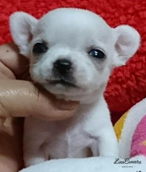 チワワ(スムース)の子犬(ID:1238011064)の3枚目の写真/更新日:2018-11-09