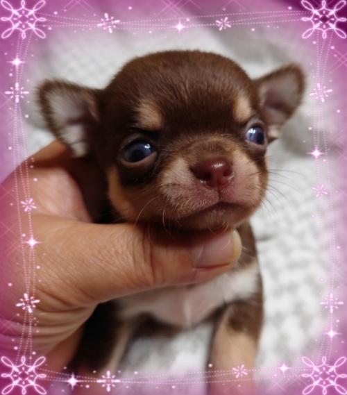 チワワ(ロング)の子犬(ID:1238011065)の1枚目の写真/更新日:2020-08-20