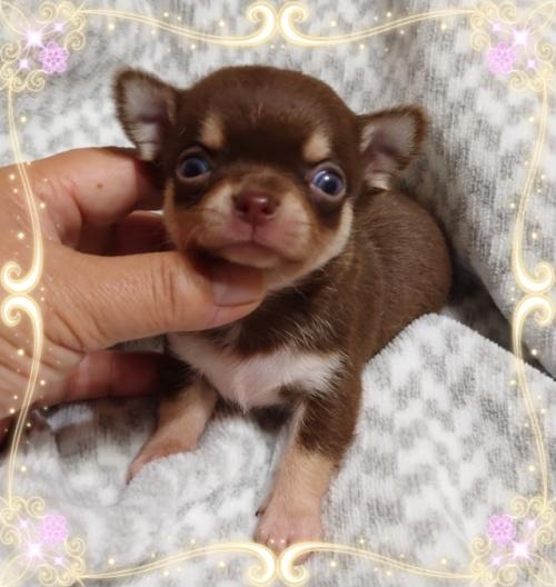 チワワ(ロング)の子犬(ID:1238011065)の2枚目の写真/更新日:2020-08-20