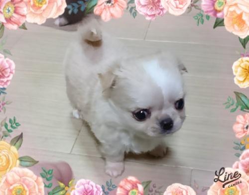 チワワ(ロング)の子犬(ID:1238011066)の1枚目の写真/更新日:2018-08-20