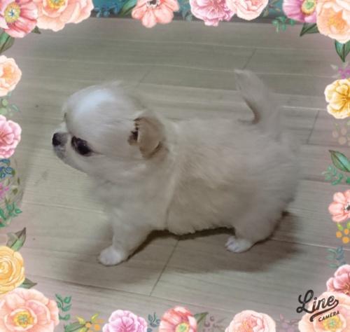 チワワ(ロング)の子犬(ID:1238011066)の2枚目の写真/更新日:2018-08-20