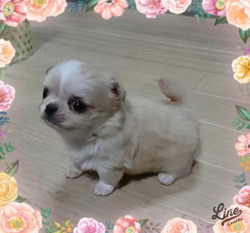 チワワ(ロング)の子犬(ID:1238011066)の3枚目の写真/更新日:2018-08-20