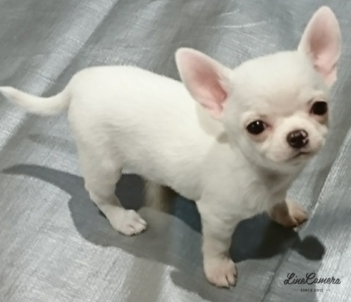 チワワ(スムース)の子犬(ID:1238011067)の1枚目の写真/更新日:2018-10-01