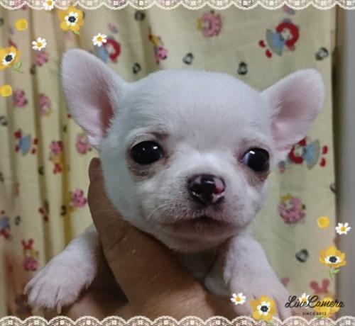 チワワ(スムース)の子犬(ID:1238011067)の2枚目の写真/更新日:2018-10-01