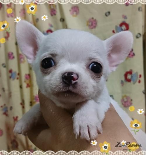 チワワ(スムース)の子犬(ID:1238011067)の3枚目の写真/更新日:2018-10-01