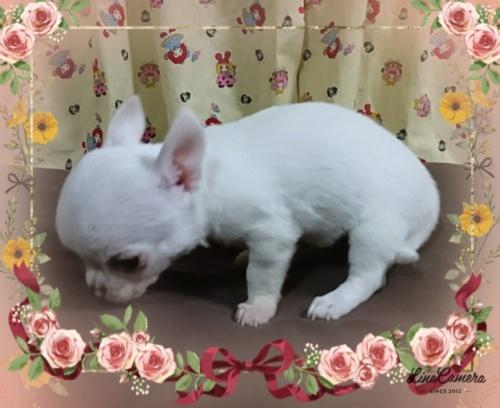 チワワ(スムース)の子犬(ID:1238011067)の4枚目の写真/更新日:2018-10-22