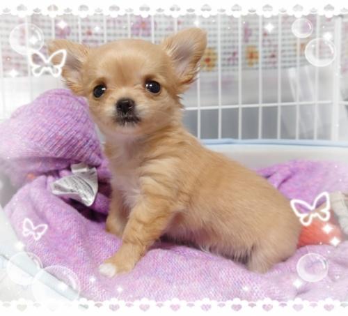 チワワ(ロング)の子犬(ID:1238011068)の2枚目の写真/更新日:2018-09-25