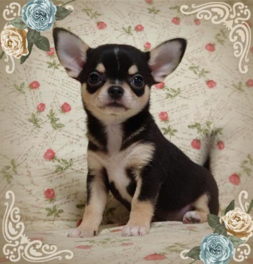 チワワ(スムース)の子犬(ID:1238011072)の1枚目の写真/更新日:2018-11-23