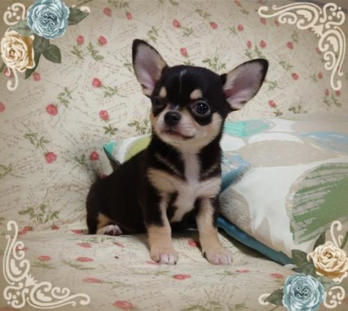 チワワ(スムース)の子犬(ID:1238011072)の2枚目の写真/更新日:2018-11-23