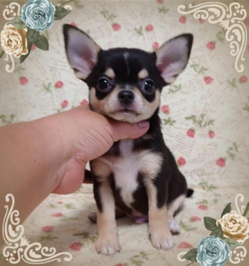 チワワ(スムース)の子犬(ID:1238011072)の3枚目の写真/更新日:2018-11-23