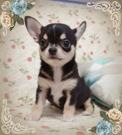 チワワ(スムース)の子犬(ID:1238011072)の4枚目の写真/更新日:2018-11-23