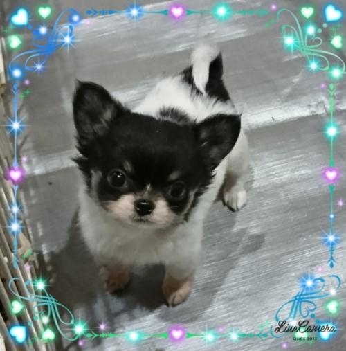 チワワ(ロング)の子犬(ID:1238011073)の1枚目の写真/更新日:2018-09-27
