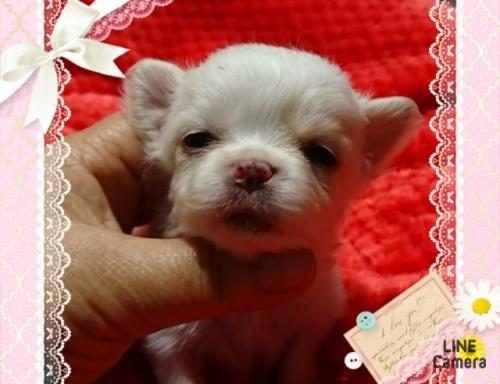 チワワ(ロング)の子犬(ID:1238011076)の1枚目の写真/更新日:2017-03-22