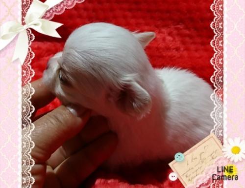 チワワ(ロング)の子犬(ID:1238011076)の2枚目の写真/更新日:2017-03-18