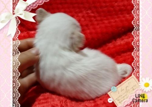 チワワ(ロング)の子犬(ID:1238011076)の3枚目の写真/更新日:2017-03-18