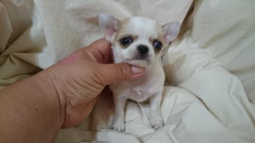 チワワ(スムース)の子犬(ID:1238011078)の1枚目の写真/更新日:2017-05-02
