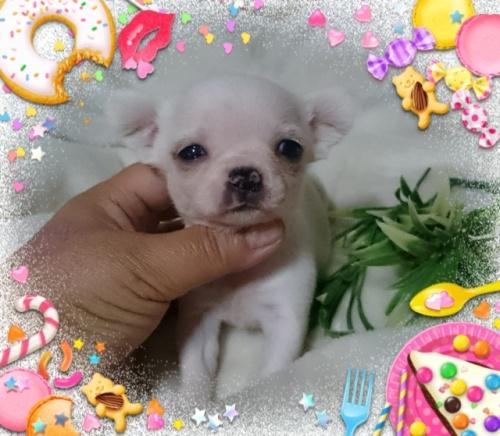 チワワ(スムース)の子犬(ID:1238011079)の1枚目の写真/更新日:2017-05-10
