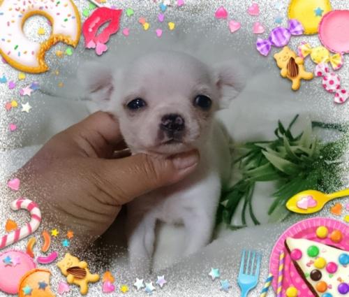 チワワ(スムース)の子犬(ID:1238011079)の2枚目の写真/更新日:2017-05-10