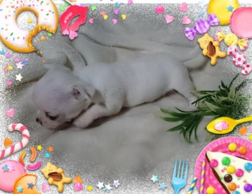 チワワ(スムース)の子犬(ID:1238011079)の3枚目の写真/更新日:2017-05-10