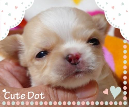 チワワ(ロング)の子犬(ID:1238011080)の1枚目の写真/更新日:2017-05-06