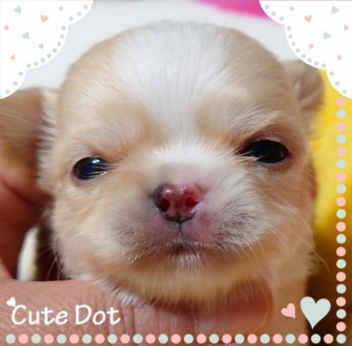 チワワ(ロング)の子犬(ID:1238011080)の2枚目の写真/更新日:2017-05-06