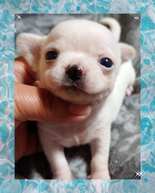チワワ(ロング)の子犬(ID:1238011082)の1枚目の写真/更新日:2021-03-09