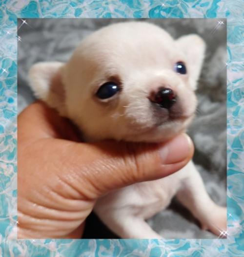 チワワ(ロング)の子犬(ID:1238011082)の2枚目の写真/更新日:2021-03-09