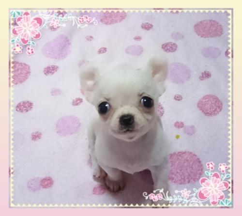 チワワ(スムース)の子犬(ID:1238011083)の1枚目の写真/更新日:2017-05-19