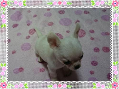 チワワ(スムース)の子犬(ID:1238011083)の2枚目の写真/更新日:2017-05-19