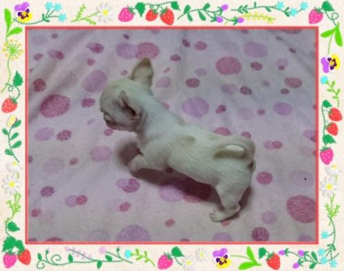 チワワ(スムース)の子犬(ID:1238011083)の3枚目の写真/更新日:2017-05-19