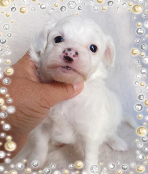 チャイニーズ・クレステッド・ドッグの子犬(ID:1238011088)の1枚目の写真/更新日:2017-09-25