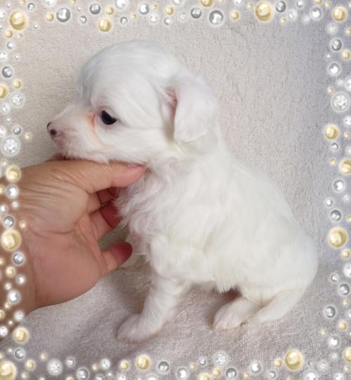 チャイニーズ・クレステッド・ドッグの子犬(ID:1238011088)の2枚目の写真/更新日:2017-09-25