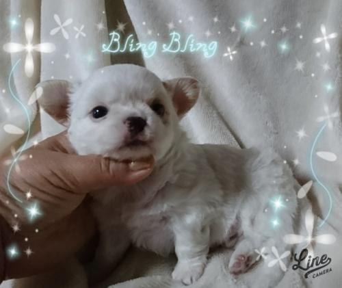 チワワ(ロング)の子犬(ID:1238011089)の1枚目の写真/更新日:2017-09-25