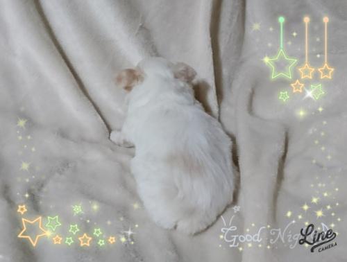 チワワ(ロング)の子犬(ID:1238011089)の3枚目の写真/更新日:2017-09-25