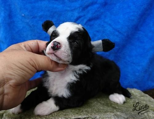 チャイニーズ・クレステッド・ドッグの子犬(ID:1238011092)の1枚目の写真/更新日:2017-10-02