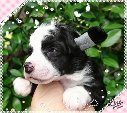 チャイニーズ・クレステッド・ドッグの子犬(ID:1238011092)の2枚目の写真/更新日:2017-10-02