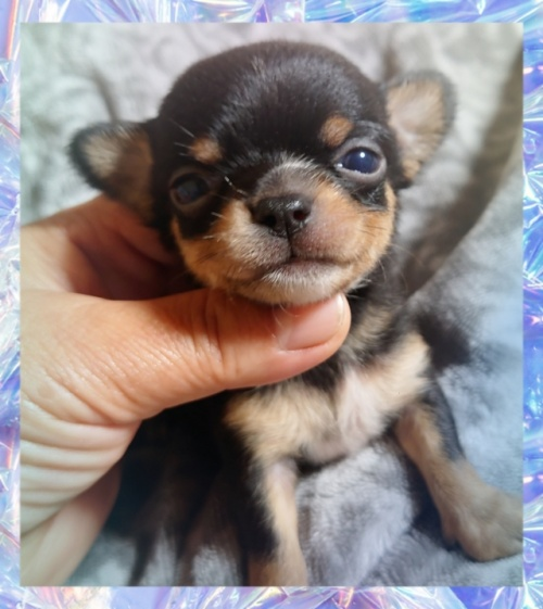 チワワ(スムース)の子犬(ID:1238011093)の1枚目の写真/更新日:2017-10-15