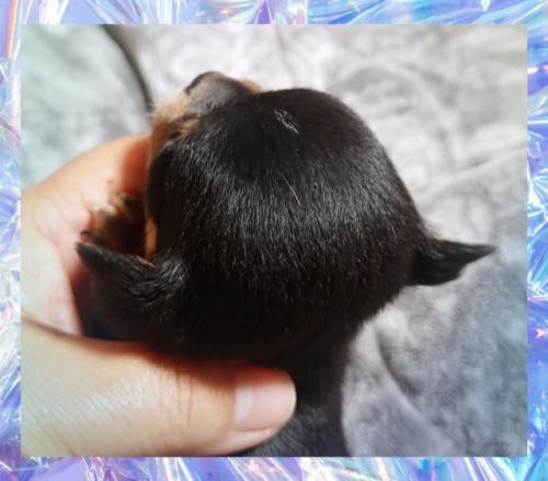 チワワ(スムース)の子犬(ID:1238011093)の2枚目の写真/更新日:2017-10-15
