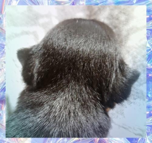 チワワ(スムース)の子犬(ID:1238011093)の3枚目の写真/更新日:2017-11-07