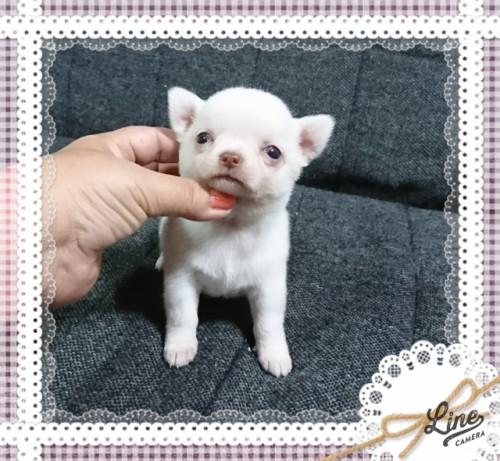チワワ(スムース)の子犬(ID:1238011094)の1枚目の写真/更新日:2017-10-15
