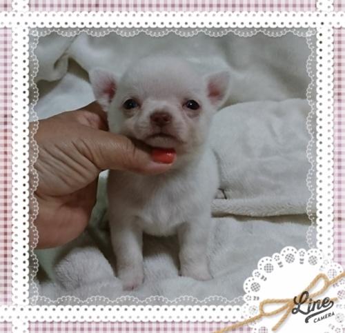 チワワ(スムース)の子犬(ID:1238011094)の2枚目の写真/更新日:2017-10-15