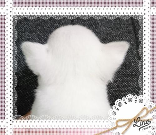 チワワ(スムース)の子犬(ID:1238011094)の4枚目の写真/更新日:2017-10-15