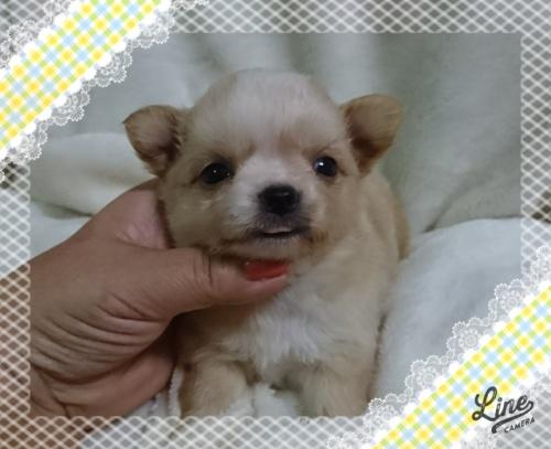 チワワ(ロング)の子犬(ID:1238011095)の1枚目の写真/更新日:2017-10-15