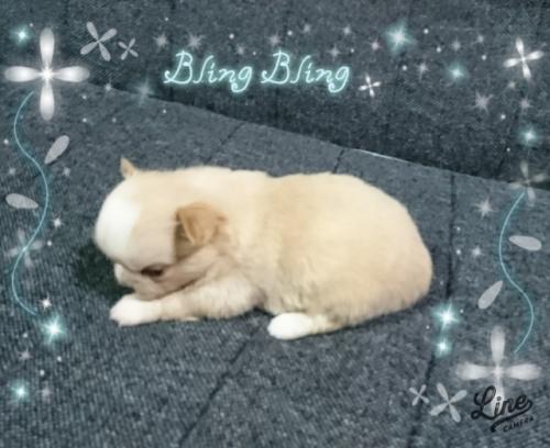チワワ(ロング)の子犬(ID:1238011095)の3枚目の写真/更新日:2017-10-15