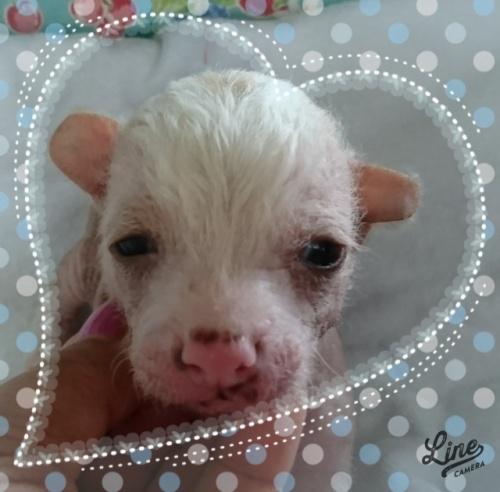 チャイニーズ・クレステッド・ドッグの子犬(ID:1238011096)の1枚目の写真/更新日:2018-06-15