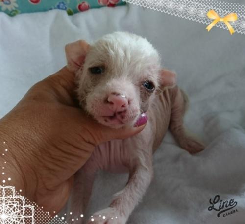 チャイニーズ・クレステッド・ドッグの子犬(ID:1238011096)の2枚目の写真/更新日:2017-11-07