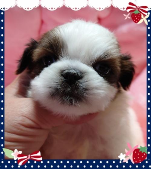 シーズーの子犬(ID:1238011098)の1枚目の写真/更新日:2017-11-11